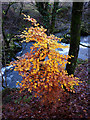 SD6291 : A small beech above the Lune by Karl and Ali