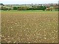 SE4013 : Emerging crop, south-west of Kinsley by Christine Johnstone