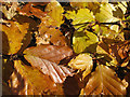 SE7365 : Beech hedge, autumn by Pauline E