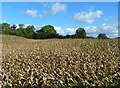 SJ7767 : Field of maize near Saltersford Hall, Cheshire by Anthony O'Neil