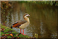 TL8782 : Egyptian Goose, Thetford, Norfolk by Peter Trimming