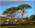 NG4843 : Pines on The Lump by John Allan