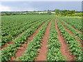 SP2974 : Potato Field near Cryfield Grange by Nigel Mykura