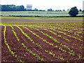 SP2776 : Maize Field near Bockenden Grange  by Nigel Mykura