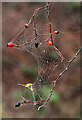 NT5734 : A spider's web at Ravenswood Haugh by Walter Baxter
