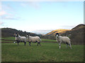 SD5199 : Swaledale rams in Longsleddale by Karl and Ali
