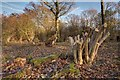 ST8857 : Recently Coppiced Trees in Green Lane Wood by Doug Lee