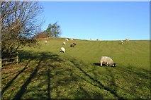 SE1650 : Sheep in Field by John Sparshatt