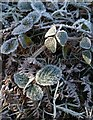 SX7682 : Frost on brambles near Peck Farm by Derek Harper