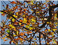 SX8570 : Oak leaves near Wolborough by Derek Harper
