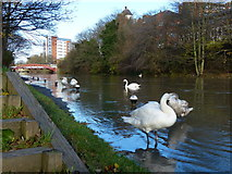 SK5803 : Swans on a flooded towpath by Mat Fascione
