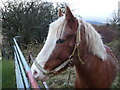 SO2211 : Friendly pony above Llanelly Hill by Jeremy Bolwell