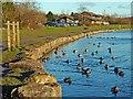 SO1210 : Ducks on Bryn Bach Park lake. by Robin Drayton