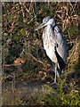 SD7407 : Grey Heron, Manchester, Bolton and Bury Canal by David Dixon