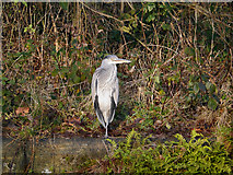 SD7407 : Heron by David Dixon