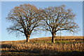 SO4329 : Trees in a maize field by Philip Halling