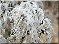 SP9213 : Frost-covered Old Man's Beard by Chris Reynolds