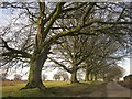 SX5171 : Beeches on Plaster Down by Derek Harper