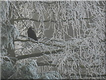 SK2169 : Rook on frosty conifer by Peter Barr