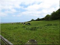 J4482 : Cattle grazing alongside the North Down Coastal Path near Helen's Bay by Eric Jones