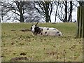 NU1019 : Jacob's sheep near Eglingham Hall by Russel Wills