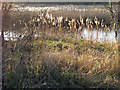 TA0323 : The Reedbeds in January by David Wright