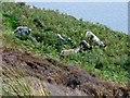 NR7519 : Island Davaar Feral Goats by Rude Health