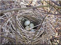SE7772 : January nest with eggs by Pauline E