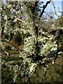 SX7978 : Lichen in orchard, Lower Down by Derek Harper