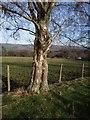 SX7978 : Birch tree, Templer Way by Derek Harper