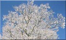 TL8063 : Hoar-covered tree by Bob Jones