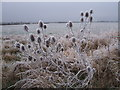SU2095 : Teasels in a field boundary near College Farm, Upper Inglesham by Vieve Forward