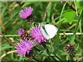 NY8483 : Small White butterfly (Pieris rapae) on a thistle near Hareshaw Burn by Mike Quinn