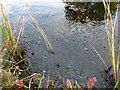 SY9787 : Raft spiders (Dolomedes fimbriatus) at Coombe Heath Pond, RSPB Arne by Phil Champion