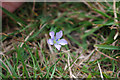 SY9976 : Pale Flax (Linum bienne) by Phil Champion