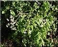 SX7980 : Cow parsley in January by Derek Harper