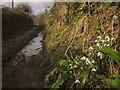 SX7950 : Snowdrops, Washwalk by Derek Harper