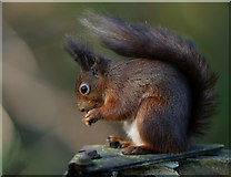 SZ5885 : Alverstone Mead Squirrel by Peter Trimming