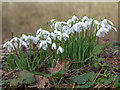 SP1453 : Snowdrops (Galanthus nivalis) on dismantled railway by David P Howard