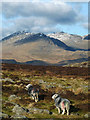 SD2198 : Herdwick sheep and the Scafells by Karl and Ali