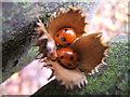 TG3131 : Ladybirds in beechmast by Barbara Carr