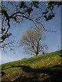SX7586 : Tree near Halscombe by Derek Harper