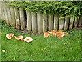 SJ4918 : Fungus at Albrighton Hall (Mercure Hotel), Ellesmere Road, Shropshire by Terry Robinson
