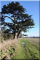 SO8746 : Cedar trees on Rabbit Bank by Philip Halling