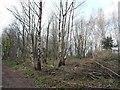 SE5301 : Managing the woodland, Sprotbrough Plantation by Christine Johnstone