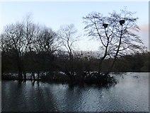 TQ0481 : Little Britain Lake: herons' nests in alders by Stefan Czapski