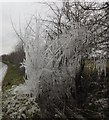 SU5690 : Ice covered tree by Bill Nicholls