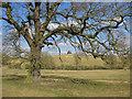 SE7168 : Oak tree and The Pyramid by Pauline E