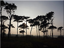 NT6378 : East Lothian Landscape : Pines At Hedderwick Hill by Richard West