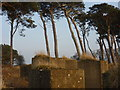 NT6378 : Coastal East Lothian : Pines And Blocks at Hedderwick by Richard West